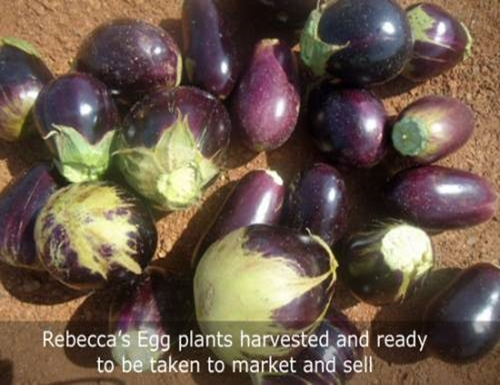 egg plants ready to sell